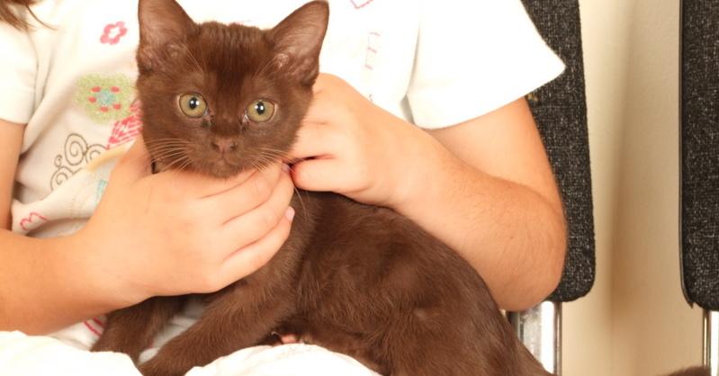 Bowie ia an 8 week old pedigree Asian kitten
