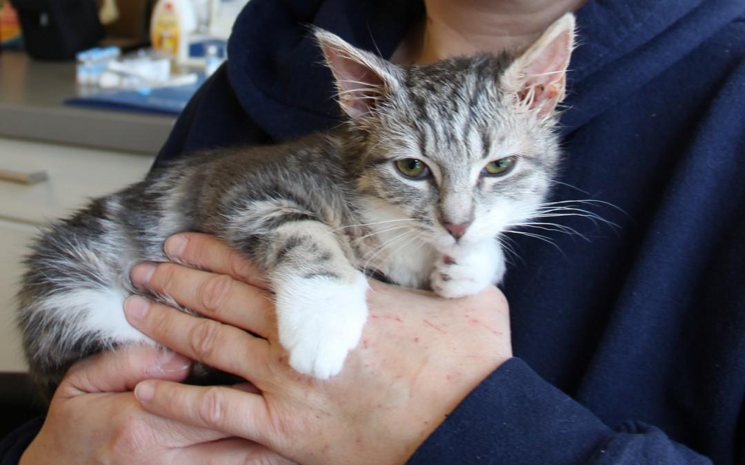 Fifi a 12 week old rescue tabby kitten