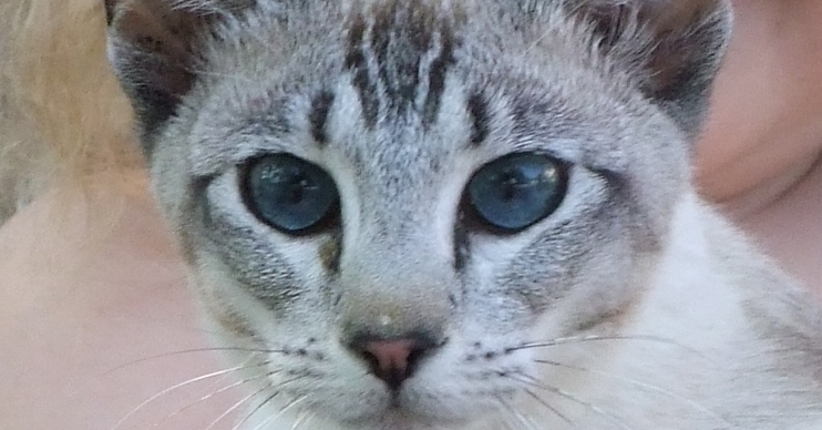 Tabitha the young Tonkinese cat was poisoned