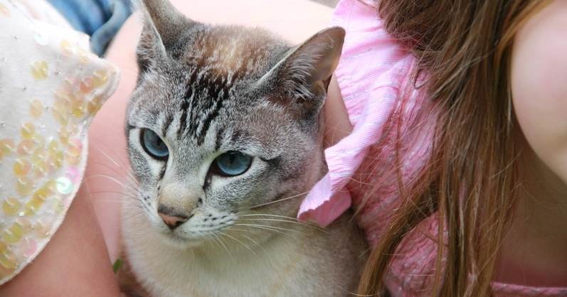 Tabatha is a Tonkinese cat