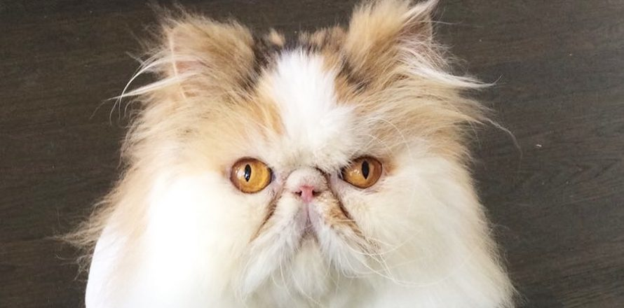 Bonnie is a two year old Persian cat
